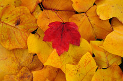 Poplar and maple leaves Stock Image