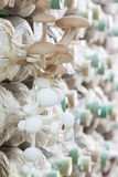 Poplar mushroom Stock Photography