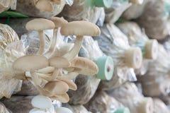 Poplar mushroom Royalty Free Stock Photography