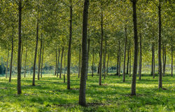 Poplar plantation  Royalty Free Stock Images