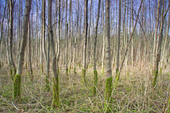 Poplar plantation Stock Photos