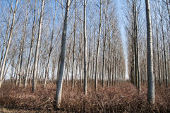 Poplar plantations forest Royalty Free Stock Image