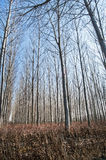 Poplar plantations forest Stock Photography