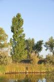 Poplar by a Pond Stock Photo