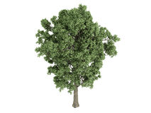Poplar_(Populus_x_canescens) Royalty Free Stock Photography
