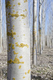 Poplar reforestation. Closeup of a trunk of a poplar in a reforestation Royalty Free Stock Images