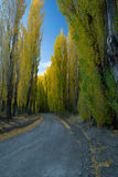 Poplar´s road. A beautiful poplar`s road in San Juan, Argentina Royalty Free Stock Photography