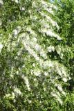 Poplar seed tufts Royalty Free Stock Photo