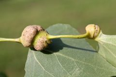 Poplar spiral gall aphid or Pemphigus spyrothecae on leaf petiole of poplar stock images