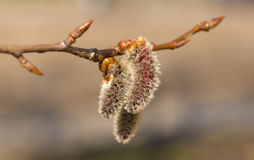 Poplar in the spring. Blossoming branch of a poplar in the spring Royalty Free Stock Photography