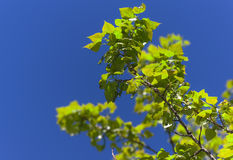 Poplar spring leaves Stock Photography