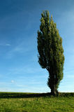 Poplar in summer Royalty Free Stock Image
