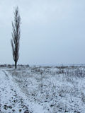 Poplar tree. In winter on white field Stock Photography