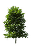 Poplar tree Stock Photography