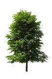 Poplar tree. Single tree isolated on white Stock Photography