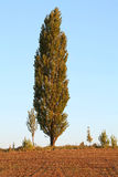 Poplar Tree Royalty Free Stock Images