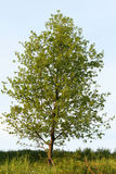 Poplar tree Stock Photos