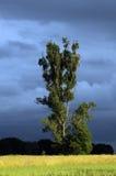 Poplar tree. Single poplar on a field in Mazovia region, Poland Royalty Free Stock Image