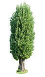 Poplar tree. Stock Photos