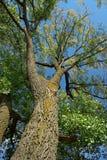 Poplar Tree Stock Photography