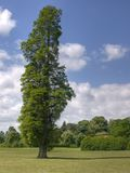 Poplar Tree. In an English country garden stock images