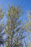 Poplar tree. Against blue sky Stock Photo