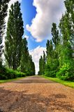 Poplar Tree Alley Stock Image