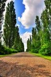 Poplar Tree Alley Stock Image