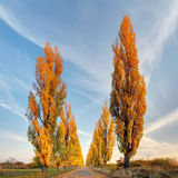 Poplar tree at autumn Royalty Free Stock Photography