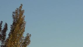 Poplar Tree in Autumn stock footage