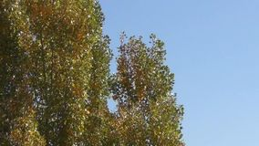Poplar Tree in Autumn stock video