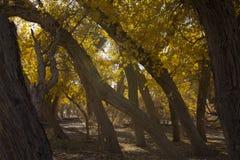 Poplar tree in autumn season Royalty Free Stock Photography