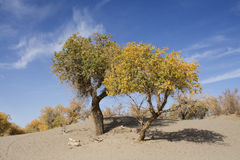 Poplar tree in autumn season Royalty Free Stock Photos