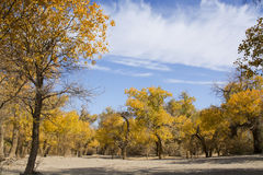 Poplar tree in autumn season Royalty Free Stock Image