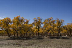 Poplar tree in autumn season Stock Photo