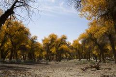 Poplar tree in autumn season Stock Photos