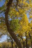 Poplar tree in autumn season Royalty Free Stock Images