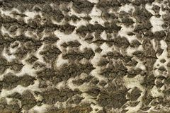 Poplar tree bark texture Royalty Free Stock Images