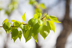 Poplar tree branch with fresh green leaves. sunny day park landscape Stock Photography