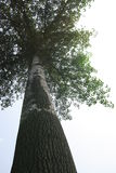 Poplar tree Royalty Free Stock Photos