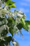 Poplar. Tree covered by white fluff Royalty Free Stock Photography