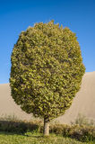 A poplar tree in the desert Stock Images