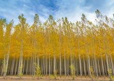 Poplar tree farm in full autumn colors Stock Image