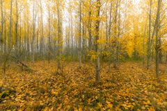 Poplar Tree Forest in Oregon during Fall Season royalty free stock images