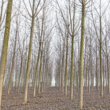 Poplar tree forest in winter. Emilia, Italy Royalty Free Stock Images
