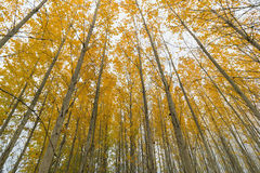 Poplar Tree Grove Canopy in Fall Royalty Free Stock Images