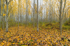 Poplar Tree Grove in Fall Stock Photo