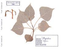 Poplar tree isolated Royalty Free Stock Photography
