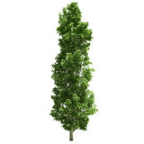 Poplar Tree Isolated. On white Stock Photos