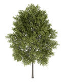 Poplar tree isolated on white Stock Photography